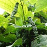 काली मिर्च की खेती Black Pepper