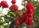 गुलाब के फूलों  (Rose Cultivation) मे अधिकतम उत्पादन एवं सुरक्षा हेतु ध्यान देने योग्य विशेष बिन्दु।