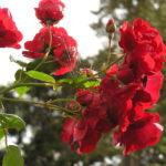 Rose (गुलाब) Cultivation