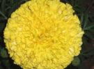 गैंदे के फूलों (Marigold Cultivation) मे अधिकतम उत्पादन एवं सुरक्षा हेतु ध्यान देने योग्य विशेष बिन्दु।