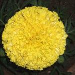 गेंदा के फूल (Marigold)