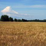 राई की खेती