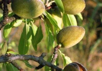 बादाम (Almonds) के अधिकतम उत्पादन एवं फसल सुरक्षा हेतु ध्यान देने योग्य विशेष बिन्दु।