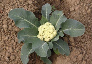 फूलगोभी (Cauliflower) की खेती की उन्नत विधि |