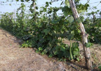 तोरई ( Ridge gourd) की उन्नत खेती