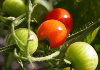 जानिए कैसे होती है टमाटर (Tomato) की उन्नत खेती ?
