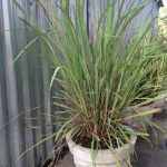 नींबू घास(Lemon Grass)